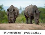 2 White Rhinos Seen On A Safari ...