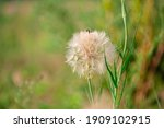Flower Similar To A Dandelion...