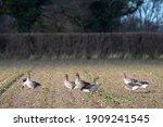 Group Of Greylag Geese Feeding...