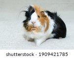 Guinea Pig Rosette  Young...