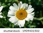 Rhodanthemum Hosmariense A...