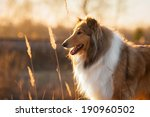 Portrait Of Rough Collie At...