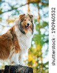 Portrait Of Rough Collie...