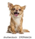 Stock photo happy chihuahua years old 190966616