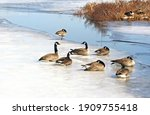 A Flock Of Canada Geese Resting ...