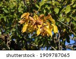 Yellow Leaves And Ripe Fruit On ...
