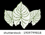 Hand Drawn Caladium Leaves...