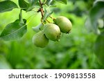 Pears On A Branch Close Up....