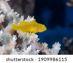 Lemon Coral Goby In An Acropora ...