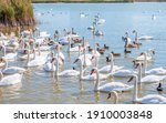 A Large Flock Of Graceful White ...