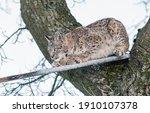 Eurasian Lynx  A Cub Of A Wild...