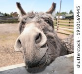 Cute grey donkey snout on the...
