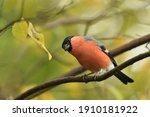 Eurasian Bullfinch Sits On The...