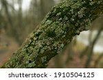 Green Lichen On The Bark Of A...