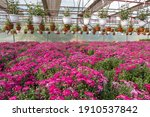 Rows Of Young Flowers Aster In...