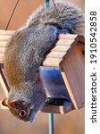 Squirrel Hangs Upside Down...