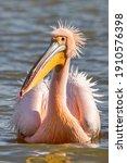 Beautiful Pink Pelican Birds....
