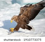 Small photo of A White-tailed Eagle swooped down onto a bait fish on the Sea Ice in the Nemuro Strait, Japan.
