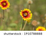 Nice Indian Blanket Flowers And ...