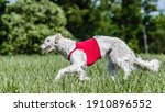 Russian Hunting Sighthound In...