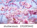 beautiful cherry blossom   pink ... | Shutterstock . vector #191095442