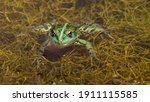 Green Frog In The Water Of A...