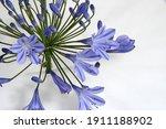A Single Pretty Lavender Blue...
