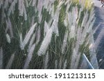 African Fountain Grass Or...