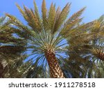 A Palm Tree  A Palm Farm In...