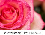 Pink Rose Flower With Water...
