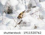 Goldfinch  A Multi Colored...