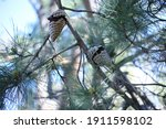 Two Pine Cones Hanging On A...