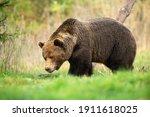 Large Brown Bear  Ursus Arctos  ...