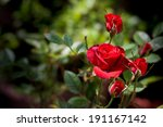 Stock photo a bunch of red roses in the garden 191167142