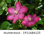 Close Up Of Pink Clematis Flower