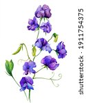 Watercolor With Purple Sweet...