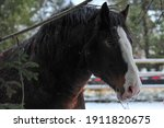 Closeup Of A Brown Clydesdale...