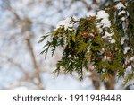 Chamaecyparis. White Snow On...