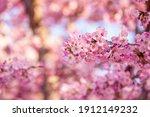 Cherry Blossom Festival ...
