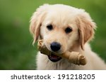 Puppy Dog Holding His Chewing...