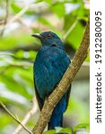 A Female Asian Fairy Bluebird ...