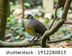 A Sulawesi Ground Dove ...