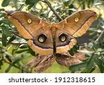 Polyphemus Moth  Antheraea...