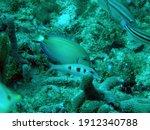 ocean surgeonfish  acanthurus... | Shutterstock . vector #1912340788