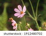 Wonderful Cosmea Flower With...