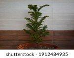 Norfolk Island Pine Or Indoor...