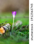 A Portrait Of A Purple Crocus...