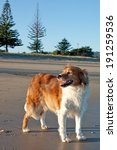 Red Haired Collie Type Dog At ...