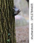 A Cute Squirrel Climbs A Tree...