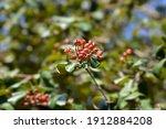 Korean Spice Viburnum Red...